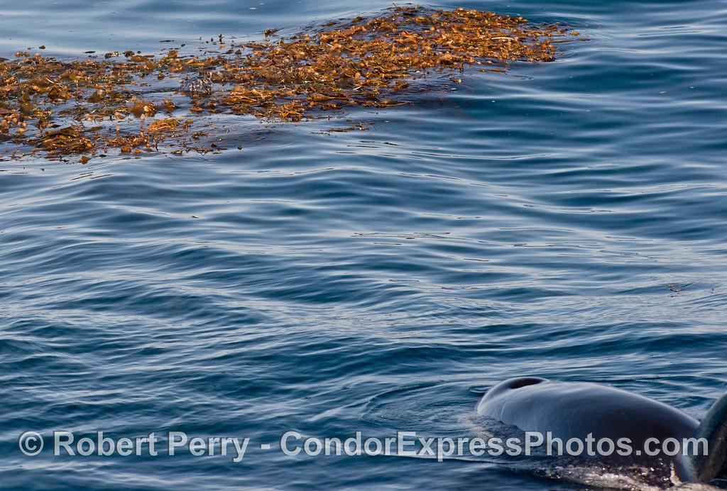 Harbor seal (<em>Phoca vitulina</em>) in kelp bed with watchful killer whale (<em>Orcinus orca</em>).