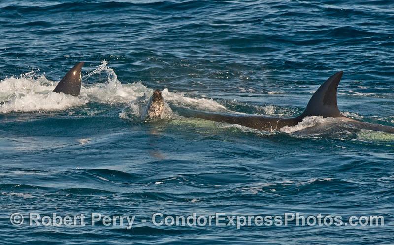 Harbor seal (<em>Phoca vitulina</em>) between two killer whales (<em>Orcinus orca</em>).