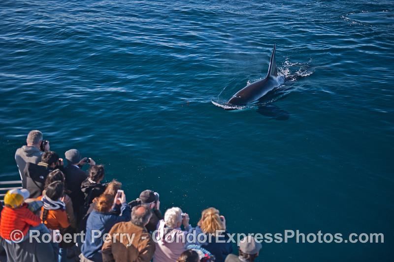 Image 1 of 2:  a killer whale (<em>Orcinus orca</em>) makes a friendly approach.