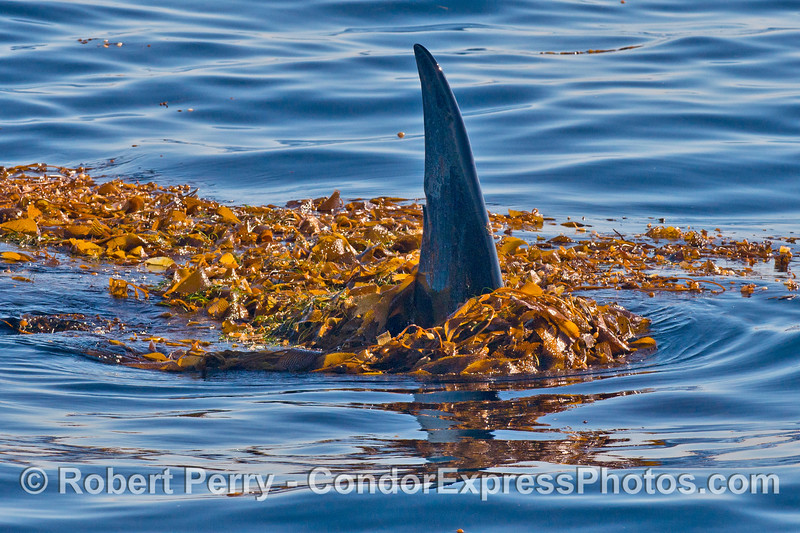 Tall dorsal fin of a killer whale (<em>Orcinus orca</em>) in the kelp.