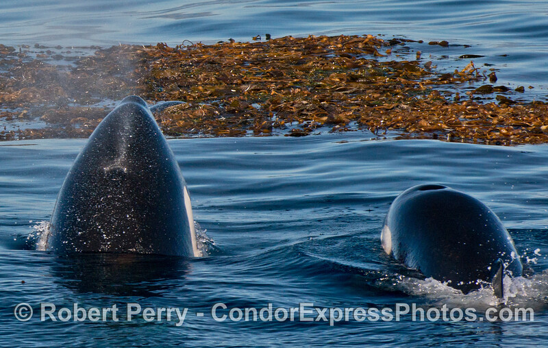 Two killer whales (<em>Orcinus orca</em>) keep a watchful eye on a lone Pacific harbor seal (<em>Phoca vitulina</em>) attempting to hide itself in a drifting giant kelp paddy (<em>Macrocystis pyrifera</em>).