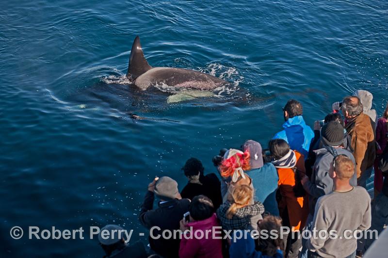 """Kodak moment"" with humans and a killer whale (<em>Orcinus orca</em>)."