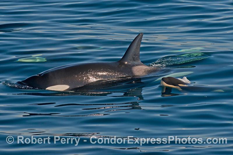 Mother and her calf - killer whales (<em>Orcinus orca</em>).