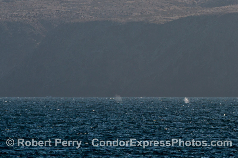 Two Pacific gray whale (<em>Eschrichtius robustus</em>) spouts are seen against the dark sea cliffs of Santa Cruz Island.