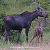Mother and baby Moose on 93 in the Notch