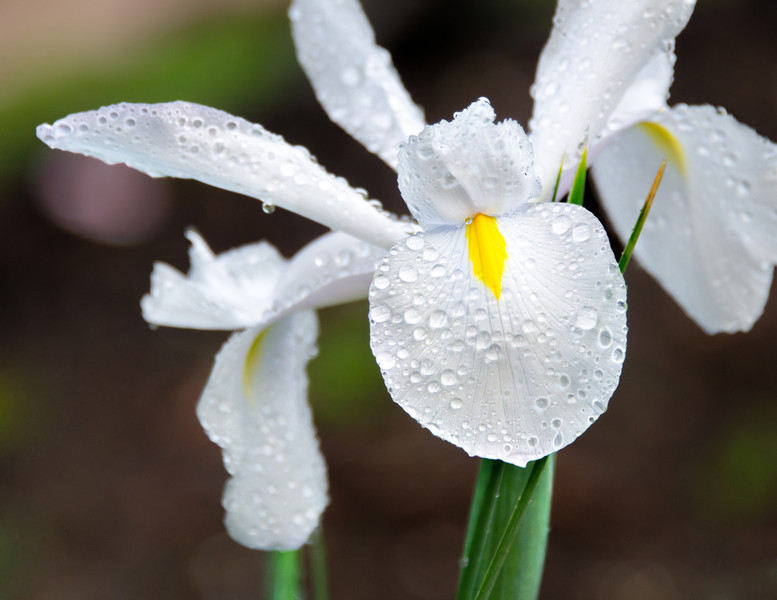 """Spring Flowers<br /> These white irises are the first to """"pop"""" this spring"""