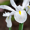 "Spring Flowers<br /> These white irises are the first to ""pop"" this spring"