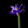 Backlit Flowers<br /> Iris