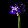 Backlit Flowers<br /> Iris