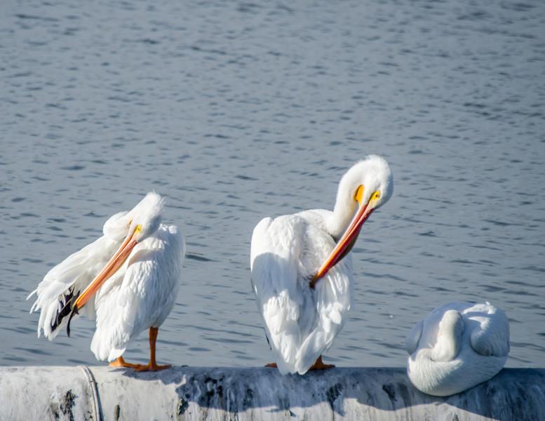 10-16-13 Pelicans in San Rafaelg