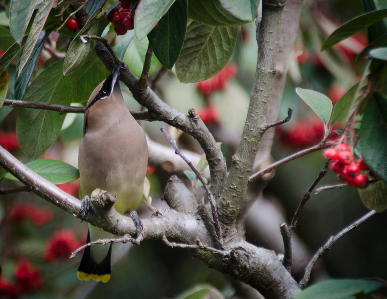 2-18-13 Cedar Waxwing<br /> Each year about now a flock of robins & cedar waxwings swoops in to devour the berries on the cotoneaster. Great fun to watch - it's right outside the bedroom window.