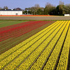 130505: Buld fields between Haarlem & Hillegom