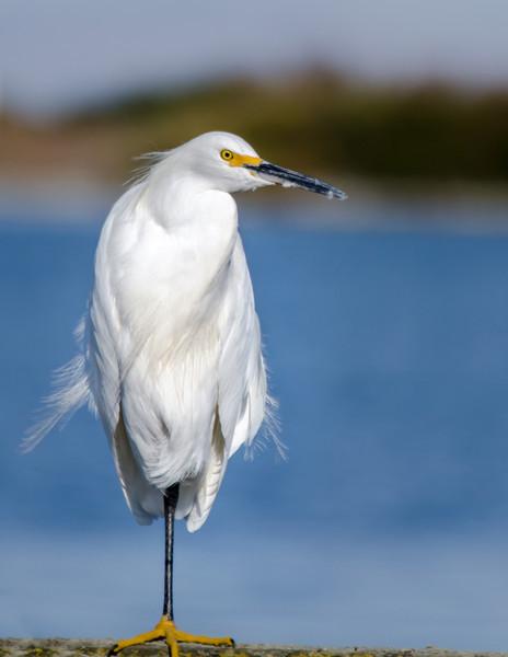 10-16-13 Egret in San Rafael