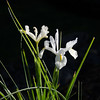Spring Flowers  <br /> Another shot of the first flowers of the spring - white irises.