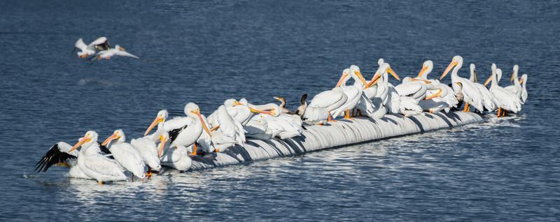 10-16-13 Pelicans in San Rafael