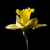 "Daffodil Backlit Another flash lit flower taken in the ""studio"". Not there quite yet, but I'm liking this technique a lot. Thanks to   <a href=""http://www.flickr.com/photos/9422878@N08/sets/72157628079460544/with/8662155024/"">Bill Gracey</a>"