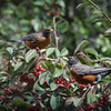 2-18-13 Robins<br /> each year about now a flock of robins & cedar waxwings swoops in to devour the berries on the cotoneaster. Great fun to watch - it's right outside the bedroom window.