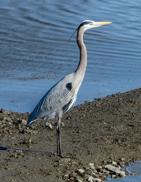 2-14-13 Blue Heron on the bike path with Kara<br /> Out for a walk this morning - lots of birds in the marsh.