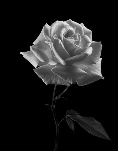 Sunset Celebration Rose