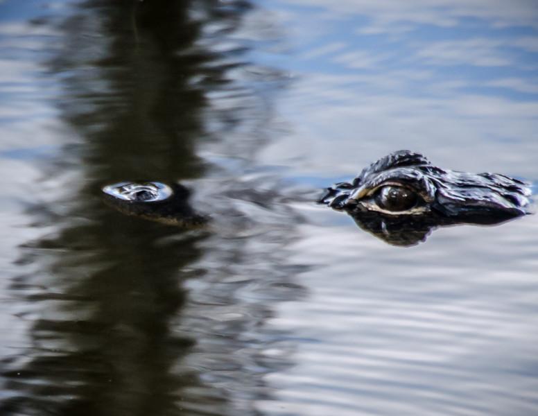 5-23-13 Aligotor<br /> Hmm - I think I took this at the Osprey pond. Eyeballs!