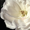 """Iceberg""<br /> Got some great shots with the 645 Pro app on my iPhone. Here's a closeup of the last ""Iceberg"" roses from the arbor."