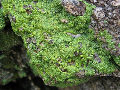 Water soaked algae