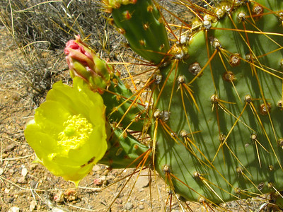 33. Pancake prickley-pear