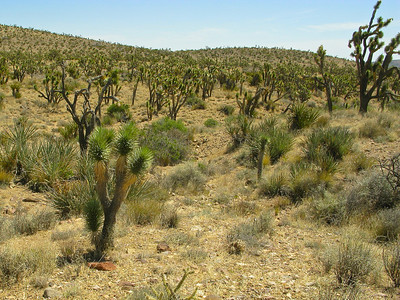 22. Joshua tree forest