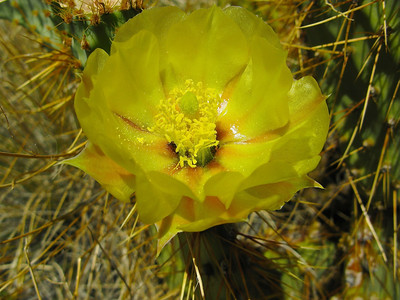 34. Pancake prickley-pear