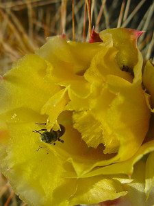 31. Mojave prickley-pear
