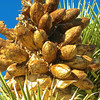 Joshua Tree seed pods