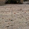 Desert rodent tracks
