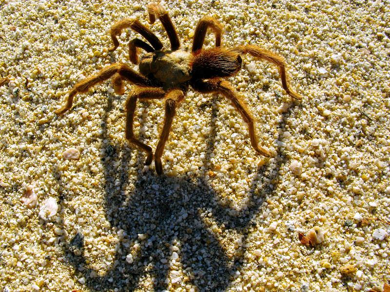Old Woman tarantula