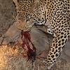 Warthog kill by Leopard