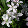 MET 040207 SPRING BEAUTIES DETAIL PHOTO