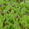 MET032813spring lettuce