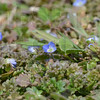 MET032813spring tiny blue flower