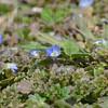 MET032813spring tiny blue flower
