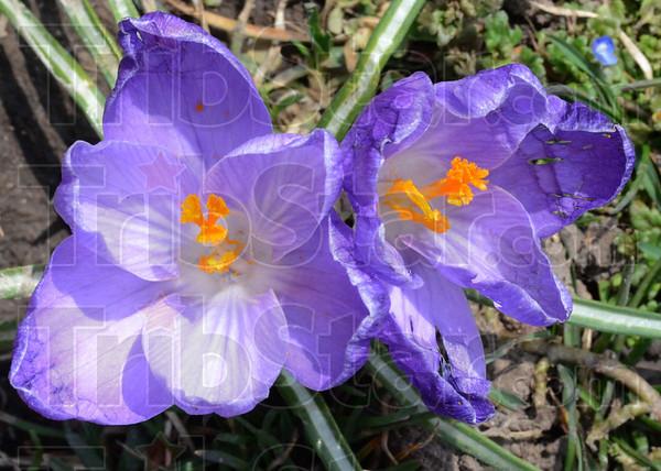 MET032813spring crocus