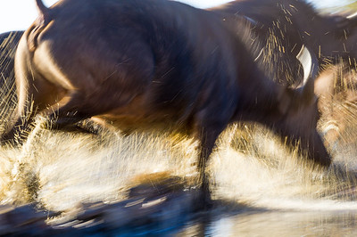 Buffalo Panic  Location: Madikwe Game Reserve, South Africa   Having watched a herd of buffalo (Syncerus caffer)  at and around waterholes for many years I had in image in mind that showed the sudden, almost unpredictable panic that takes place from time to time when the herds get spooked.  From an underground hide, so not to influence the herd's behaviour I focused  on one of the Buffalo that had moved deep into the water I was able to get the frame I wanted as the herd once again had a panic attack and ran through and out of the water.    Nikon D3s, Nikkor 70-200mm lens at 200mm, 1/20, f/22, ISO 400