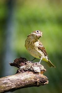 Female Red Breasted Grosbeak