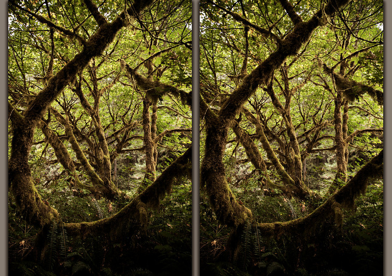 A stereoscopic image of the fantastic surroundings of the redwood forests: Cross your eyes and line up to two images to see it in 3-D.