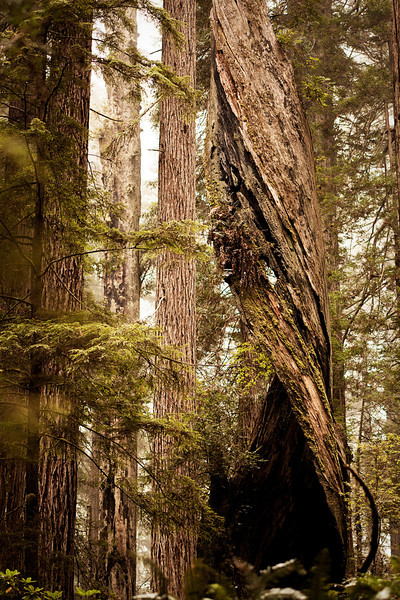 A burned-out spiral shell of a redwood looms some fifty feet over the jungle floor, long after the life has left it.