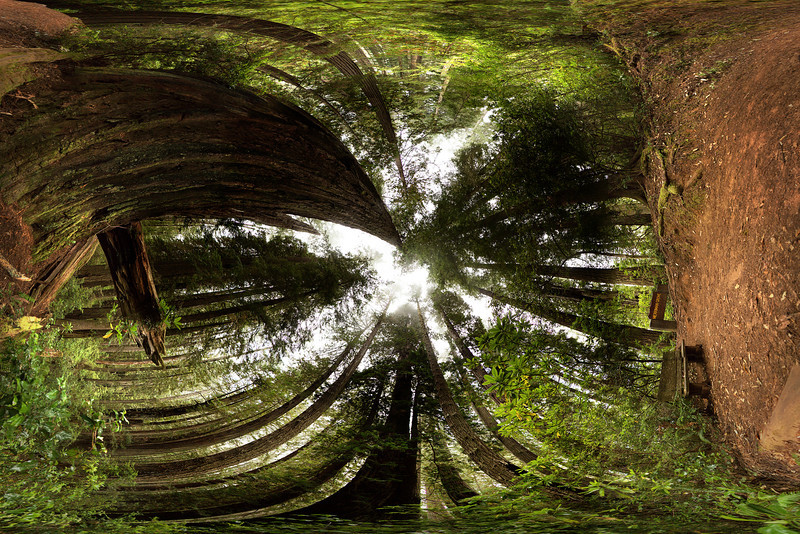 An oddly stitched panorama looking up at the forest canopy and surrounded by redwoods.