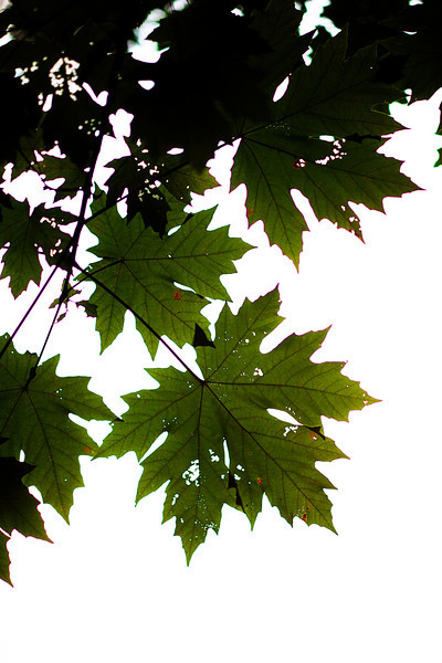 Maple leaves hang over our campsite as the evening sets in.