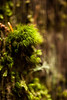 Soft mossy tufts grow from the rough features of the redwood bark.