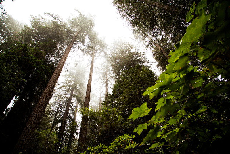 Redwood trees tower enormously high overhead, disappearing into the cloud cover above.