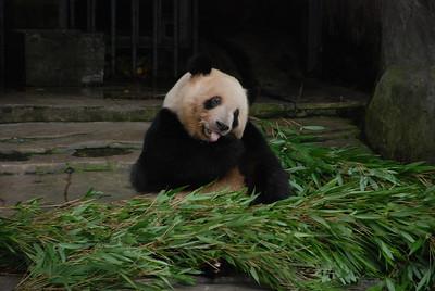 Panda in China - Beverly Petersen