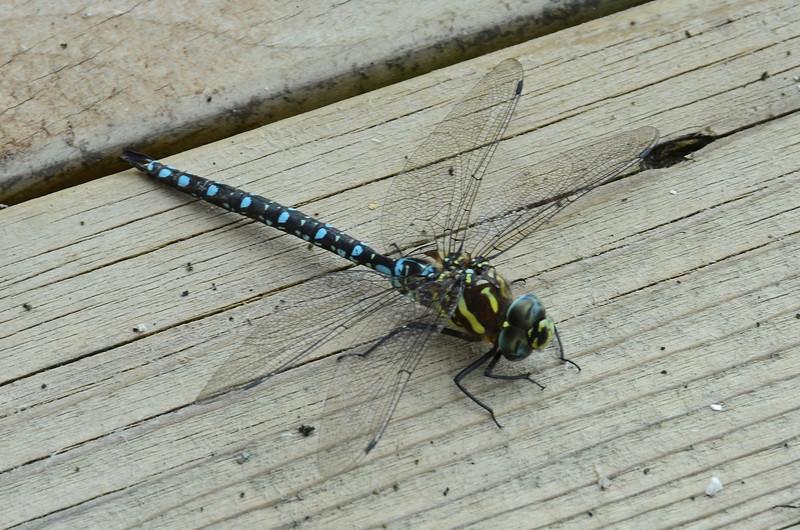 "4"" dragonfly at Dacha"