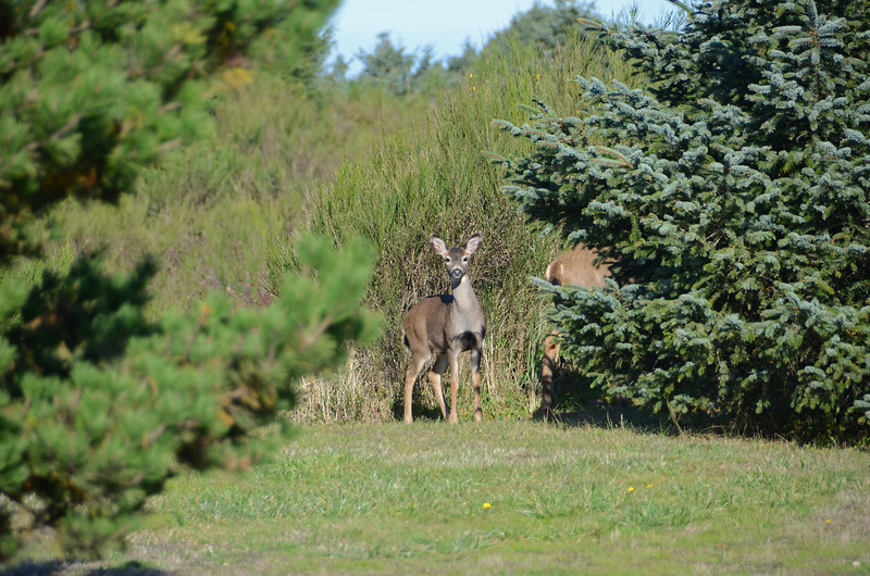 Bambi at Griffiths Priday St. Park